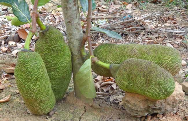 菠萝蜜种植条件