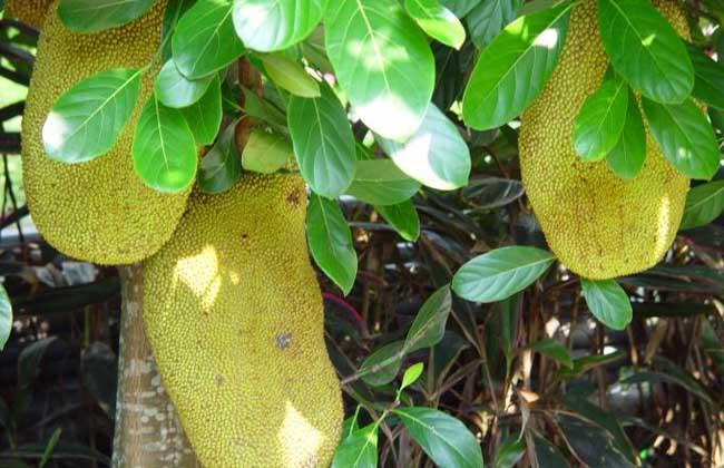 菠萝蜜长在哪里
