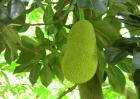 菠萝蜜的种植技术