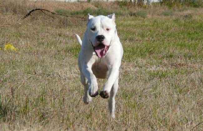 请问一下了解阿根廷杜高犬的人