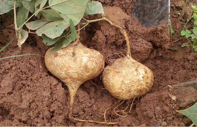 地瓜种植技术