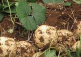 地瓜高产种植技术