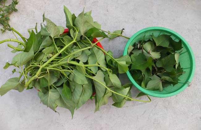 红薯叶的功效与作用