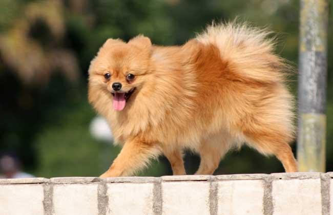博美犬的寿命多长