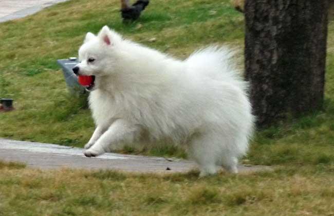 白色博美犬多少钱