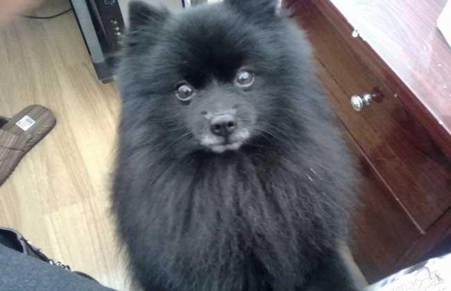 黑色博美犬