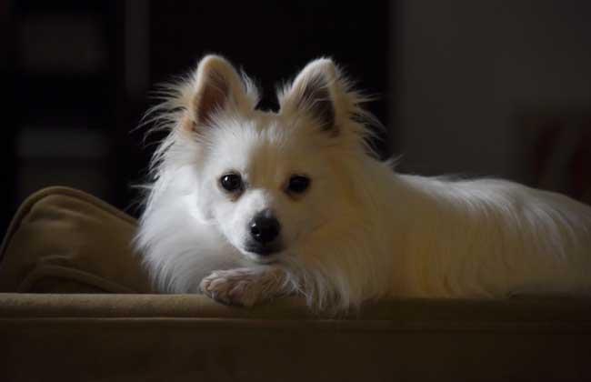白色博美犬