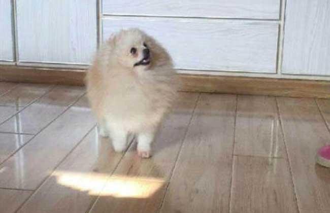 其它颜色博美犬
