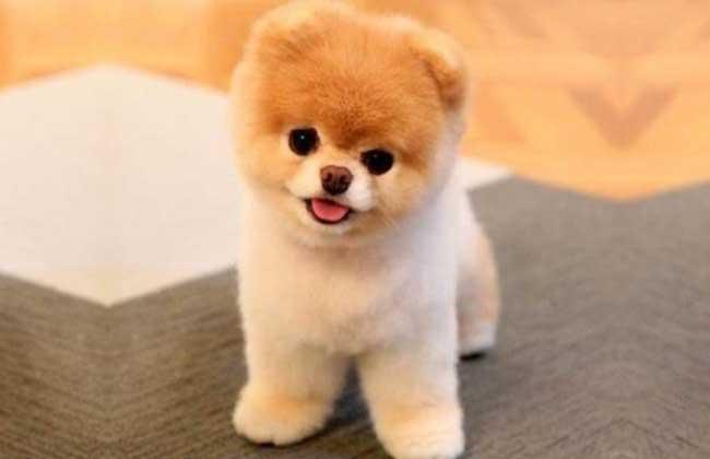 茶杯博美犬多少钱
