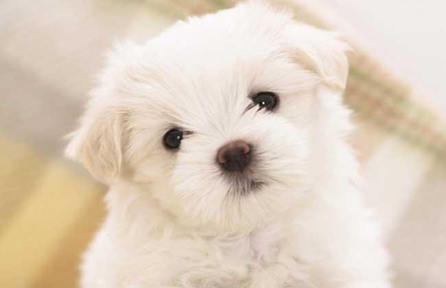 茶杯犬吃什么狗粮?