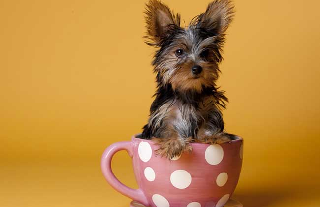茶杯犬是怎么来的?