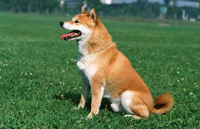 柴犬寿命能活多久