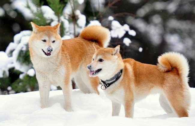 柴犬和秋田犬的区别