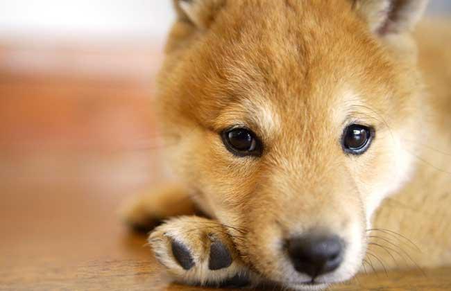 日本柴犬好养吗?
