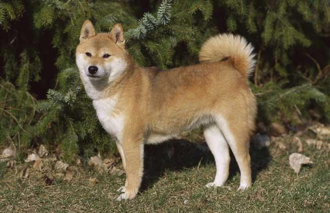 柴犬有哪些性格特点?