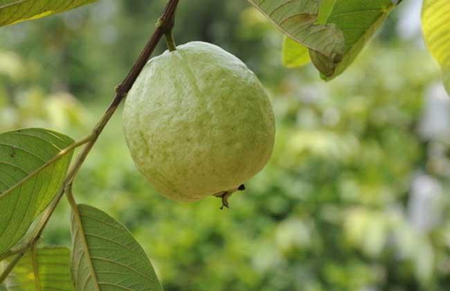 番石榴是什么水果?