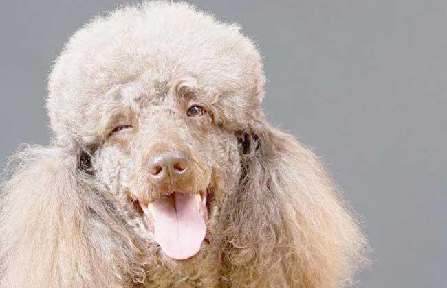 贵宾犬和泰迪犬的区别