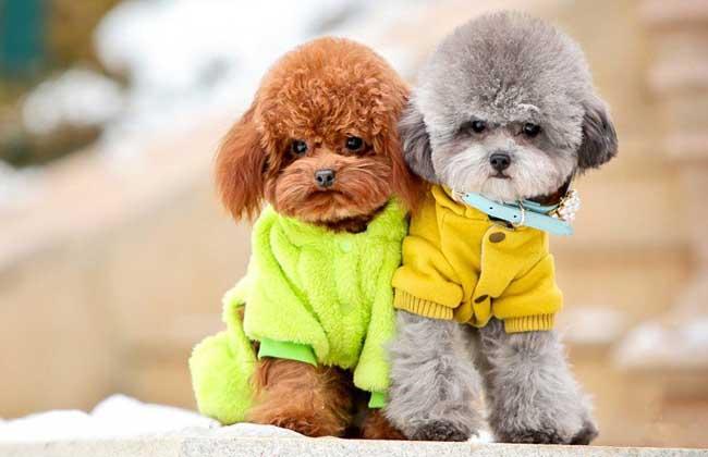 玩具贵宾犬多少钱一只?