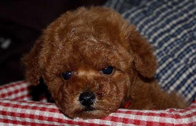 玩具型贵宾犬