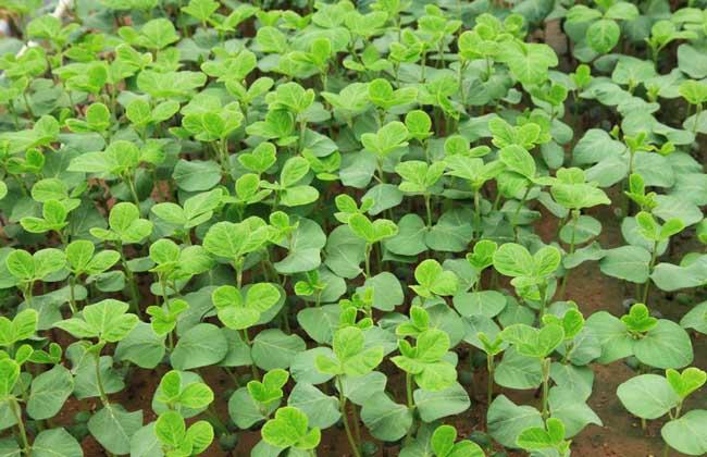 黑豆苗的种植方法
