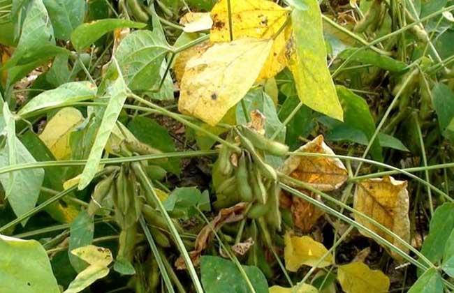 青仁黑豆种植技术