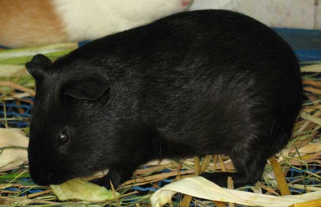 黑豚鼠养殖技术高清视频