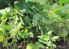 黑豆什么时候种植?