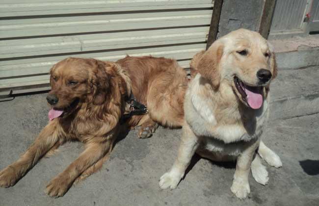 新安纯种的疆域牧羊犬幼犬几多一只