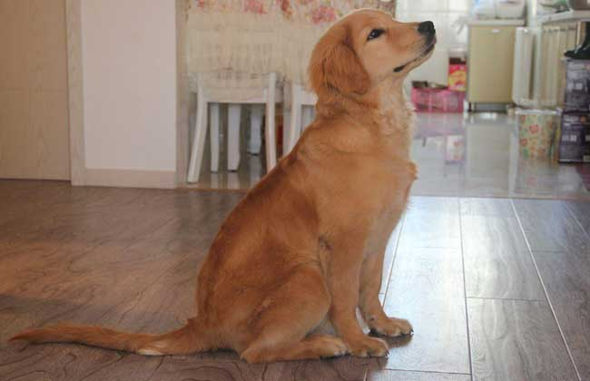 金毛犬有几个品种