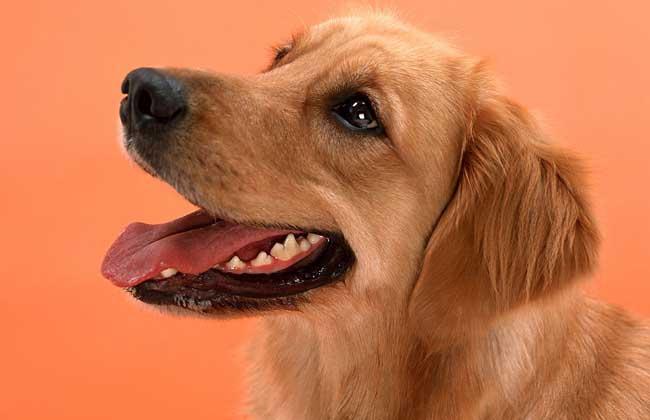 金毛犬配种一次多少钱?