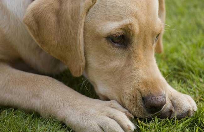 拉布拉多犬多少钱一只?