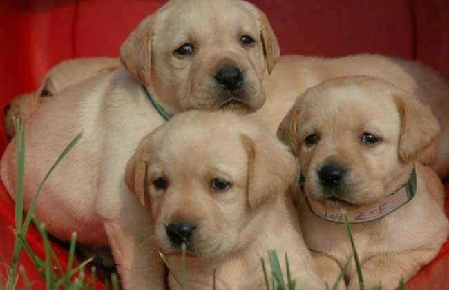 纯种拉布拉多犬多少钱?