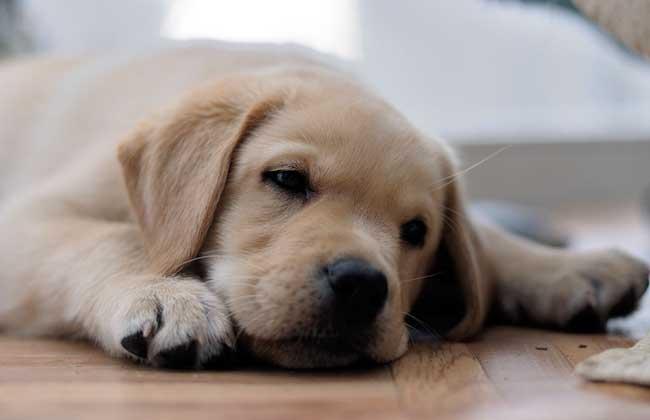 拉布拉多犬好饲养吗?