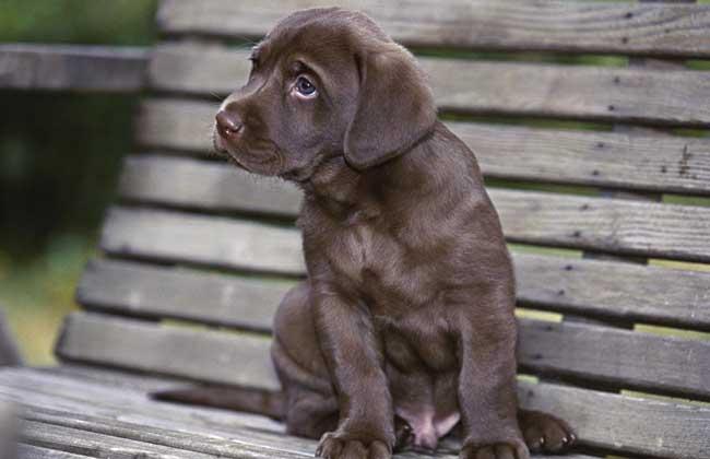 拉布拉多幼犬怎么养才好?