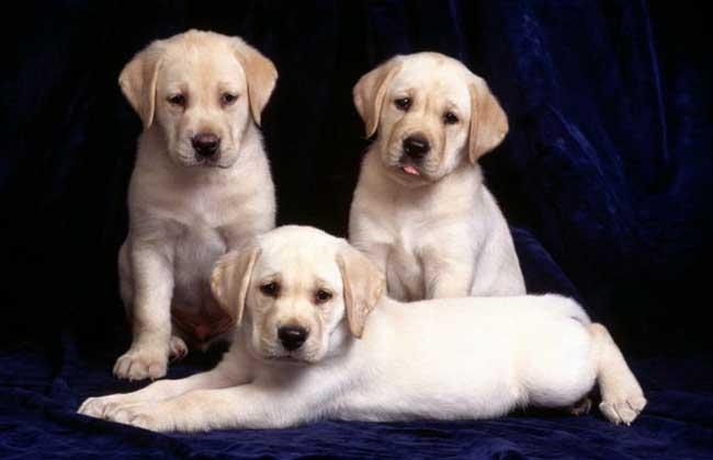 拉布拉多犬的寿命多长?