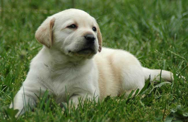 拉布拉多犬什么颜色贵