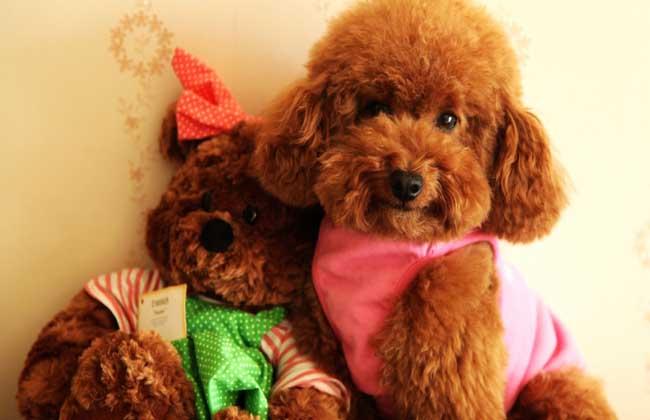 泰迪犬怎么养才好