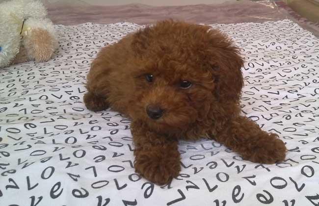 女生为什么不能养泰迪犬?