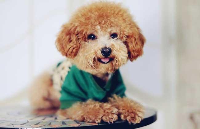 泰迪犬皮肤病怎么治?