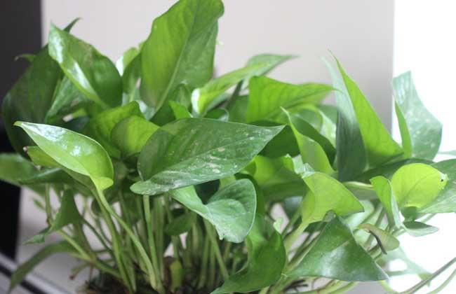 盆栽绿萝多少钱一盆?