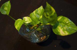 水培绿萝多久换一次水?