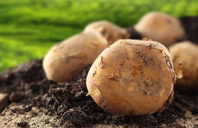 土豆的功效与作用
