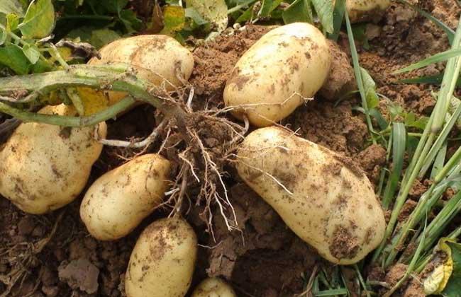 马铃薯品种