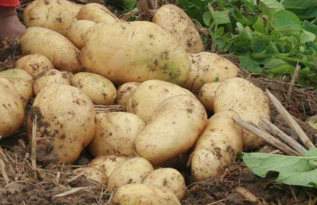 马铃薯产地在哪里?