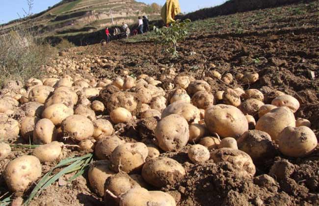 马铃薯产地