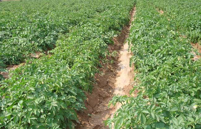 土豆种植技术