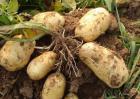 马铃薯什么品种好?