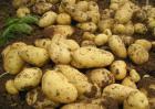 马铃薯是土豆还是红薯?