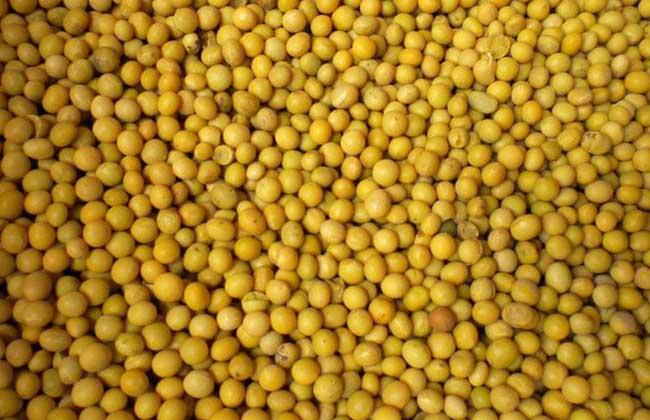 黄豆不能和什么一起吃