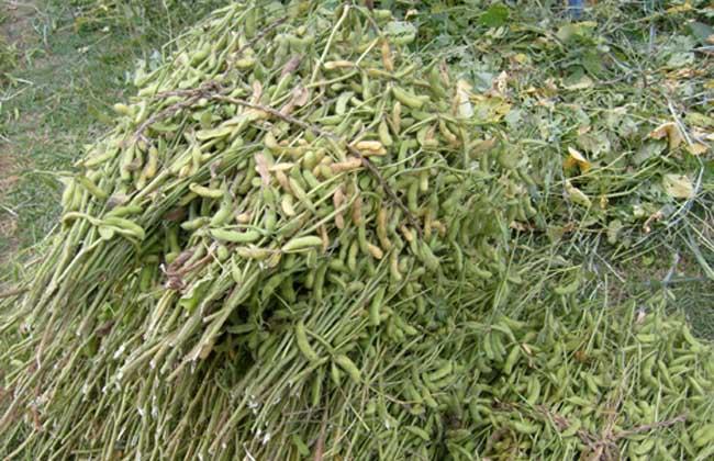高产大豆种子